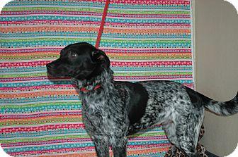 Blue Heeler Mix Dog for adoption in San Antonio, Texas - Nacho