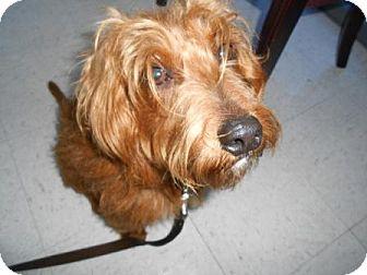 Border Terrier/Schnauzer (Miniature) Mix Dog for adoption in Lockhart, Texas - Buddy