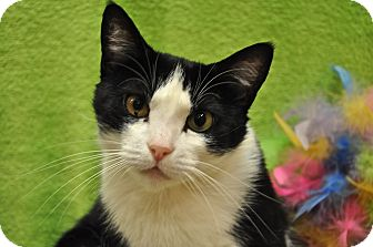 Domestic Shorthair Cat for adoption in Foothill Ranch, California - Maggie