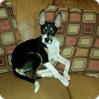 Adopt A Pet :: Ginger Snap - Bardonia, NY