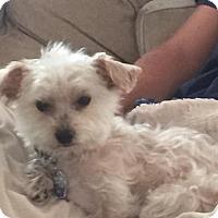 Adopt A Pet :: Torrey - bridgeport, CT