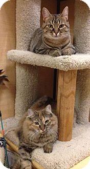 Domestic Mediumhair Cat for adoption in Temple, Pennsylvania - Fuzzy & Kitty