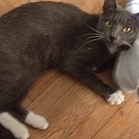Domestic Shorthair Kitten for adoption in Carlisle, Pennsylvania - AshleyCP
