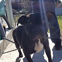 American Staffordshire Terrier Dog for adoption in Victoria, Texas - Jeri