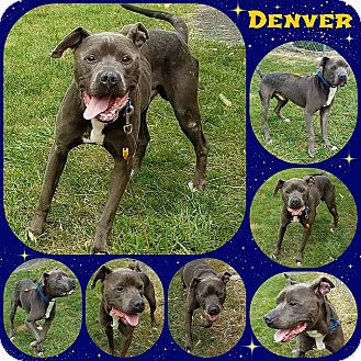 American Pit Bull Terrier Mix Dog for adoption in Joliet, Illinois - Denver