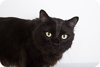 Maine Coon Cat for adoption in Mission Viejo, California - Beaker