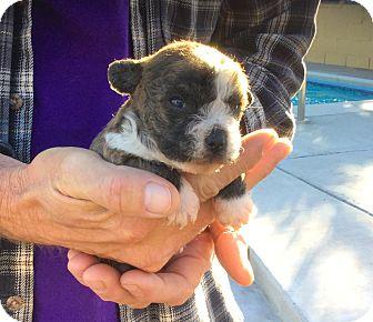 Adopt A Pet :: Hugger, Born Jan 24, Precious  - Corona, CA