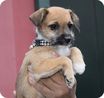 Chihuahua/Terrier (Unknown Type, Small) Mix Puppy for adoption in New York, New York - Addie