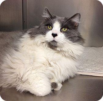 Domestic Longhair Cat for adoption in Triadelphia, West Virginia - B-4 Bonnington