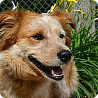 Adopt A Pet :: Cody - Bellevue, NE
