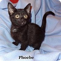 Adopt A Pet :: Phoebe - Bentonville, AR