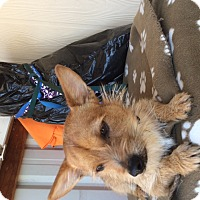 Terrier (Unknown Type, Small) Mix Dog for adoption in Elk Grove, California - SHAWN
