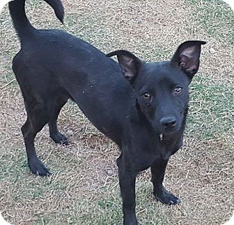 Chihuahua Mix Dog for adoption in Las Cruces, New Mexico - Mercedes