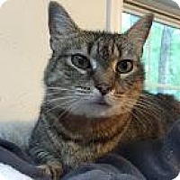 Domestic Shorthair Cat for adoption in East Stroudsburg, Pennsylvania - Danielle