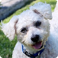 Adopt A Pet :: Polo - La Costa, CA