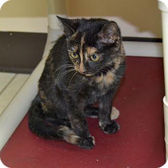 Domestic Shorthair Kitten for adoption in Wheaton, Illinois - Cathy