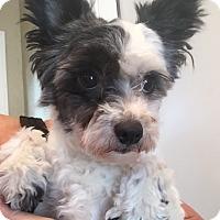 Adopt A Pet :: Belle - St. Petersburg, FL