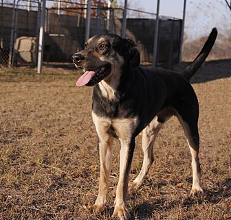 Shepherd (Unknown Type) Mix Dog for adoption in Warner Robins, Georgia - Justin