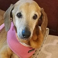 Dachshund Dog for adoption in Weston, Florida - Freeway