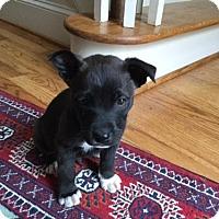 Adopt A Pet :: Boomer - Roswell, GA