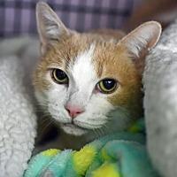 Adopt A Pet :: Juliet - Denver, CO