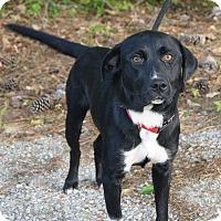 Adopt A Pet :: Jake 😎 DOB 5/2015! - Saratoga Springs, NY