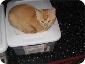Domestic Shorthair Kitten for adoption in Jeffersonville, Indiana - Tinkerbell