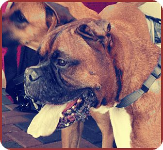 Boxer Dog for adoption in Lake Forest, California - Ricky