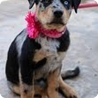 Adopt A Pet :: Claire - Justin, TX