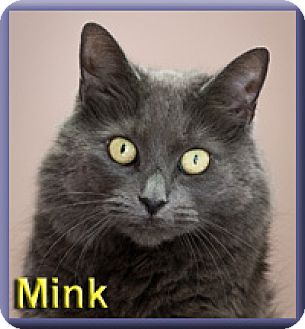 Domestic Mediumhair Cat for adoption in Aldie, Virginia - Mink