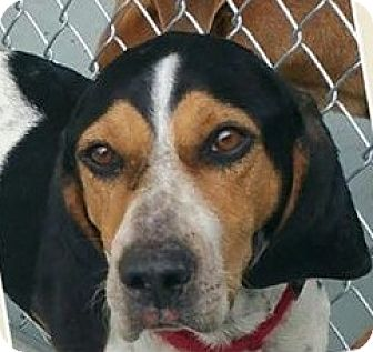 Hound (Unknown Type)/Coonhound (Unknown Type) Mix Dog for adoption in Lexington, Massachusetts - Buckeye