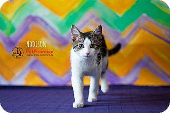 Domestic Shorthair Kitten for adoption in Columbus, Ohio - Addison
