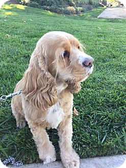 Cocker Spaniel Mix Dog for adoption in Santa Barbara, California - Tiger