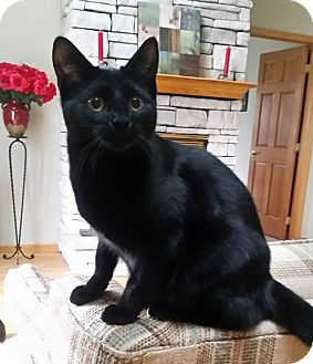 Domestic Shorthair Cat for adoption in Evans, West Virginia - Coffee