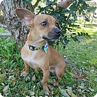 Adopt A Pet :: Priscilla - Pluckemin, NJ