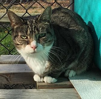 Domestic Shorthair Cat for adoption in Spring Lake, New Jersey - Bitsy