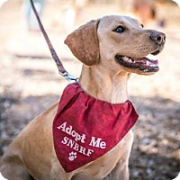 Adopt A Pet :: Beignet - Las Vegas, NV