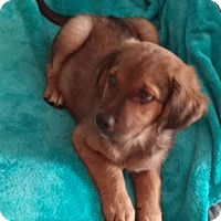 Adopt A Pet :: Katie's Puppy 2 - Pompton Lakes, NJ