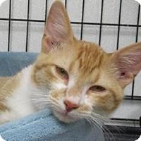American Shorthair Cat for adoption in Belton, Missouri - Liam