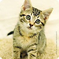 Adopt A Pet :: Pancake - Ortonville, MI