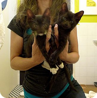 Domestic Shorthair Kitten for adoption in Ridgewood, New York - Swoon