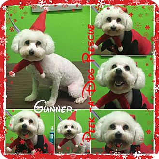 Bichon Frise/Poodle (Miniature) Mix Dog for adoption in South Gate, California - Gunner