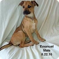 Adopt A Pet :: Emanuel meet me 1/6 - Manchester, CT