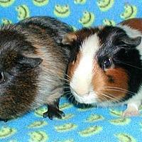 Adopt A Pet :: Ajax - Steger, IL