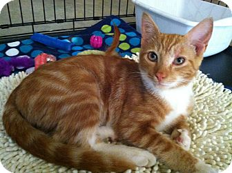Bengal Kitten for adoption in Easley, South Carolina - Rudy