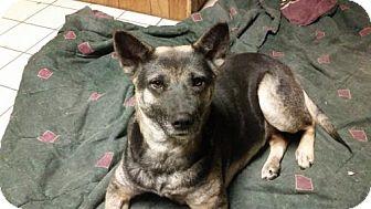 German Shepherd Dog Mix Dog for adoption in Morrisville, North Carolina - Asha