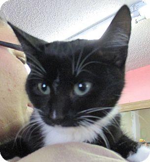Domestic Shorthair Kitten for adoption in Reeds Spring, Missouri - Jupiter