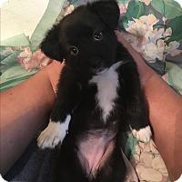 Adopt A Pet :: Moxie - Goldsboro, NC