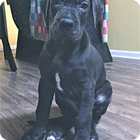 Adopt A Pet :: Archer - Huntersville, NC