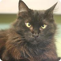Domestic Longhair Cat for adoption in Canoga Park, California - Jazie